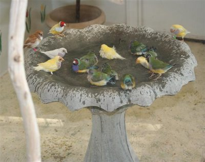 gouldian finches bathing