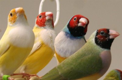 North Carolina gouldian finches