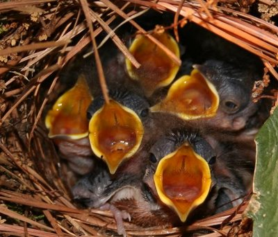 Carolina Wren babies