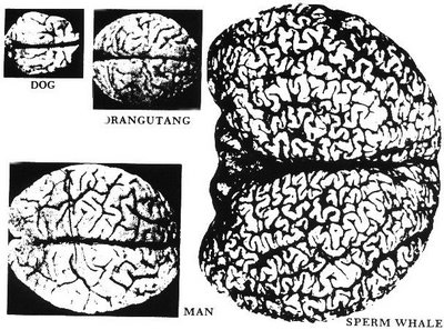 Animal brain sizes