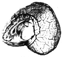 bottlenose dolphin meiobasal view of right brain hemisphere