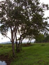 A grove of binayuyu trees