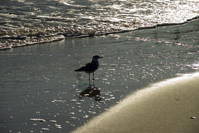 seagull in surf