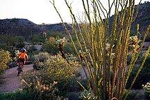 Ahhh, it's the spidery Ocotillo cactus...