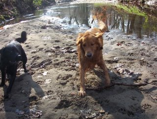 Wilbrodog on right, and his friend a large golden retriever to the center; both dogs are running on a sandy bar of a creek, toward the camera