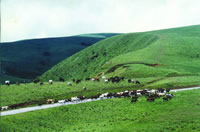 Cattles grazing at Obudu