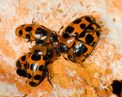 Pleasing Fungus Beetles (Family Erotylidae)