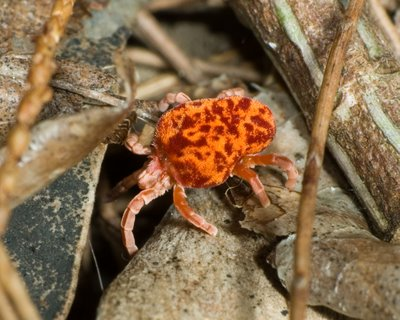 Red and orange Velvet Mite