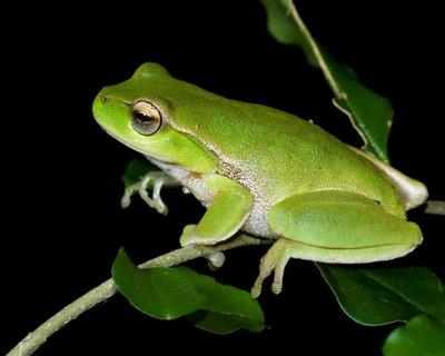 Litoria phyllochroa, Leaf Green Treefrog