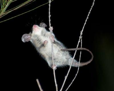 Cercartetus nanus, Eastern Pygmy Possum
