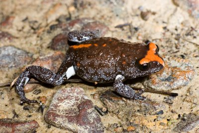 Pseudophryne australis, Red-crowned toadlet