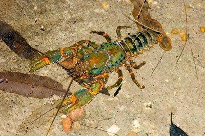 Sydney Crayfish, Euastacus australasiensis