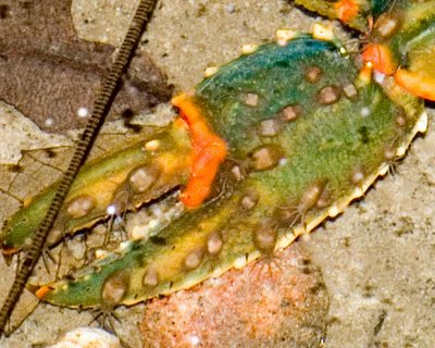 Temnocephalans on Euastacus claw