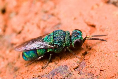 Emerald Cuckoo Wasp (family Chrysididae)