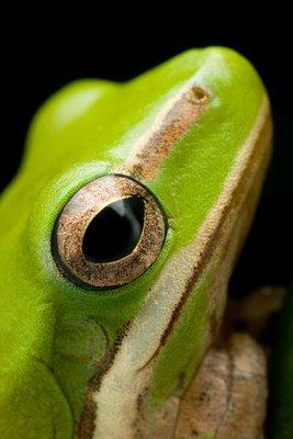 Dwarf Treefrog, Litoria fallax/bicolor