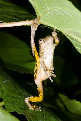 Litoria peronii, Peron's Treefrog