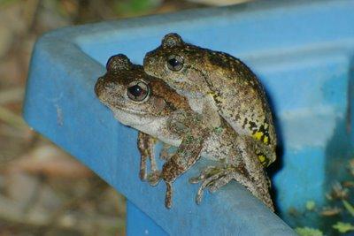 Litoria peronii, Perons Treefrogs, amplexus