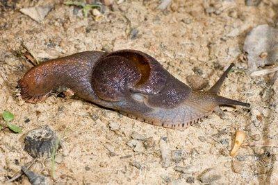 Helicarionid semi-slug