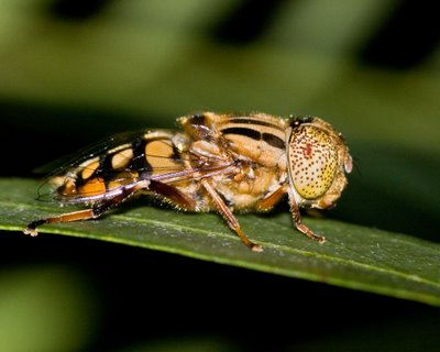 Dronefly or Hoverfly, family Syrphidae