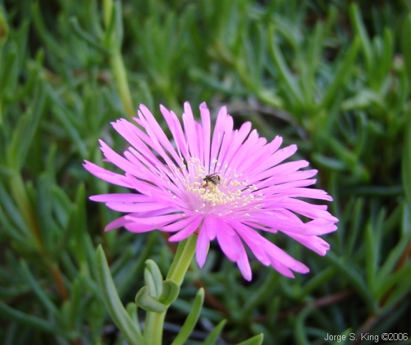 Melerita juntando polen
