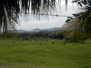 African palm plantation
