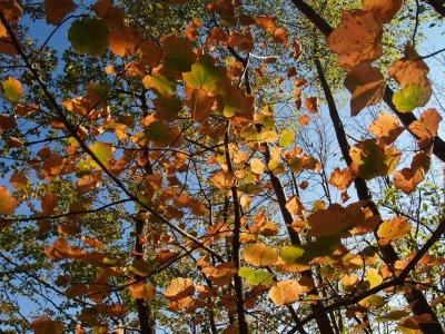 Aceri con i colori dell'autunno
