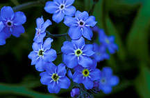 Forget-me not