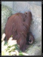 orangutan hiding