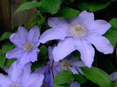 Misty clematis