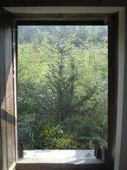 un tejo creciendo en mi ventana