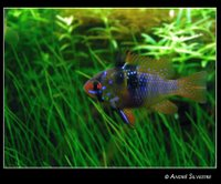 Female Blue Ram