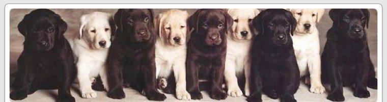 Labrador Lovers