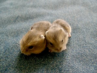 Hamster Babies 3rd Generation. Photo by Danish