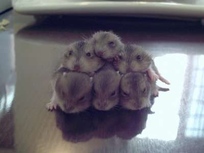 Hamster Babies 2nd Generation. Photo by Danish