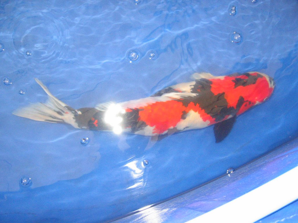 Koi carp how to photograph koi for Looking after koi