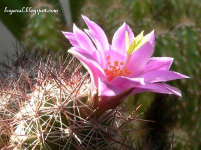 floare cactus mov