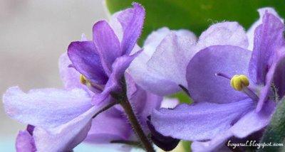 foto violete mov [macro]
