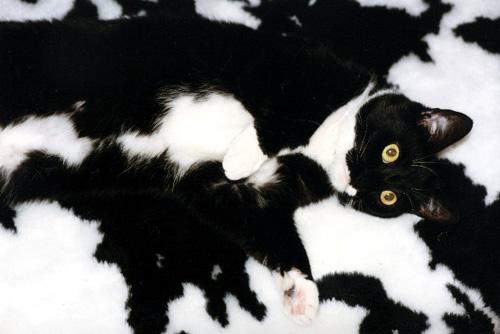 Gatto che tenta di mimetizzarsi