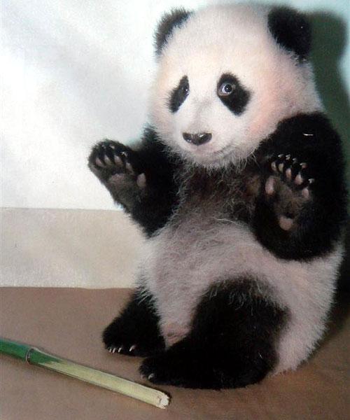 Giovane panda colto in flagranza di reato
