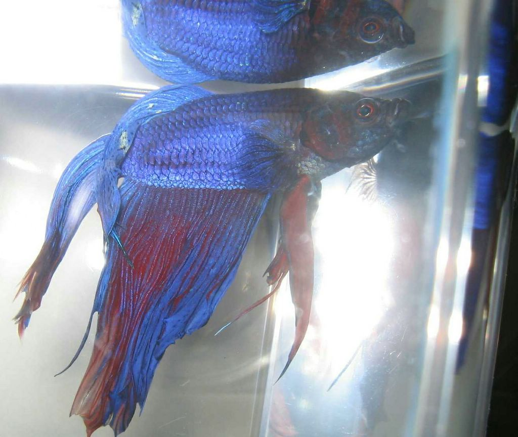 Bettas January 2006
