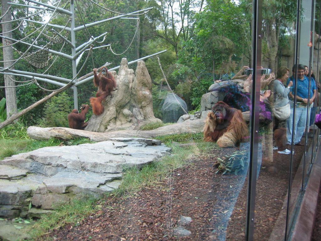 San Diego Zoo Orangutan Exhibit