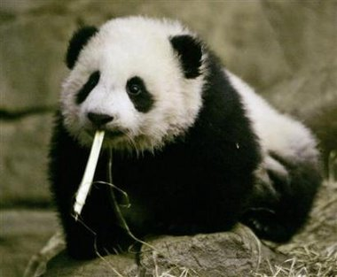 Panda bite - photo#25