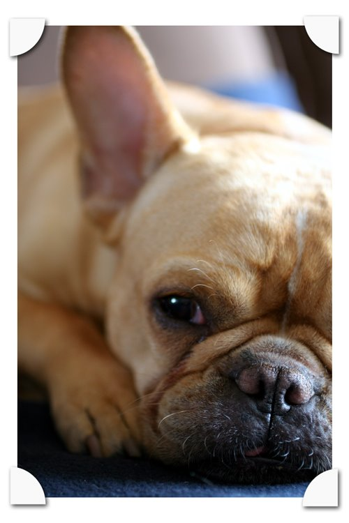 bo the french bull dog