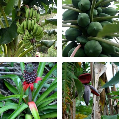 photograph picture image of bananas, papaya, pineapple and banana flower