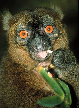 steve goodman lemur