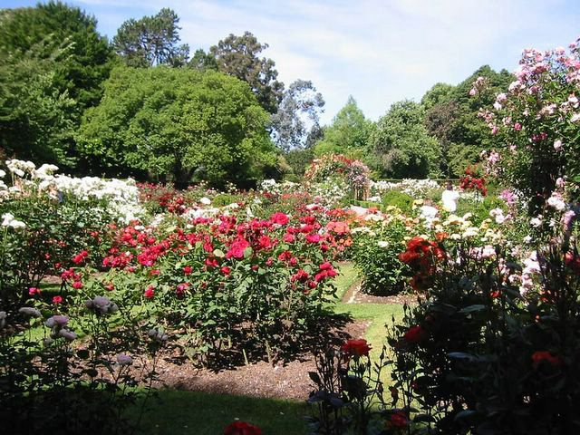 Landscaping Ideas Rose Garden : Zealand nz standard roses landscaping ideas auckland new