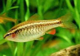 Aquarium lore cherry barb for Cherry barb fish