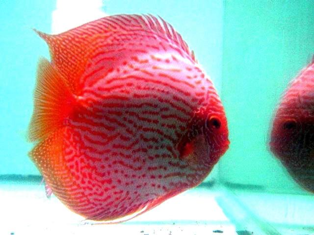 Aquarium lore discus fish for Discus fish for sale near me
