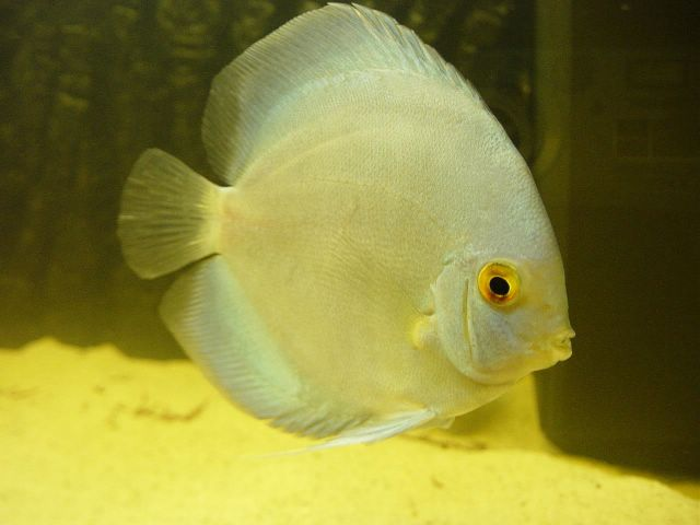 Discus fish dark and not eating discus turning black and for Fish not eating
