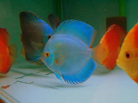 Aquarium lore march 2006 for Discus fish for sale near me